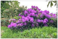 20180516-002 1892-Rhododendron