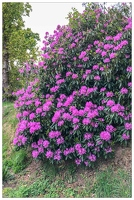 20180516-003 1894-Rhododendron