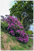 20180516-004 1896-Rhododendron